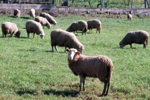 Agricultores com animais podem candidatar-se a apoios europeus