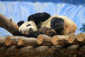 População de pandas gigantes está a aumentar na China