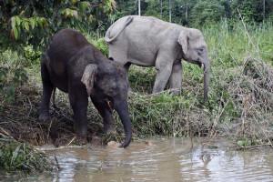 Homem morre após ter sido pisado por manada de elefantes