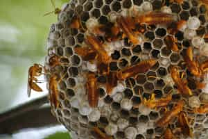 Jovem trabalhador em estado grave após picada de vespa asiática