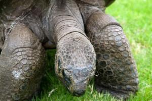 Morreu tartaruga gigante 'Pepe, o missionário'