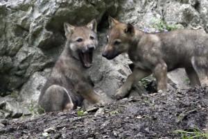 Lobos também são sensíveis ao contágio dos bocejos