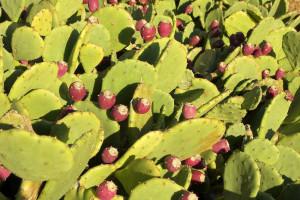 Idanha-a-Nova concentra 30% da plantação de figo da índia