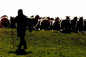 Drone usado para levar rebanho de ovelhas a pastar