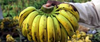 Bananas ajudam no diagnóstico de cancro da pele
