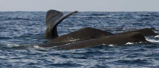 Baleia dá à costa na praia da Póvoa de Varzim