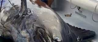 Pescador 'saca' um peixe de 620 quilos do oceano