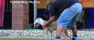 Antara, o pitbull que desafia a gravidade