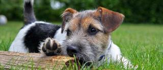 Cientistas descobrem que cães são desistentes