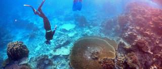 Recifes da Grande Barreira de Coral podem morrer nos próximos 20 anos
