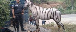 Polícia apreende cavalo pintado de zebra nas ruas do Rio de Janeiro
