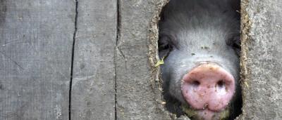 Arrisca dez anos na prisão por dar água a porcos