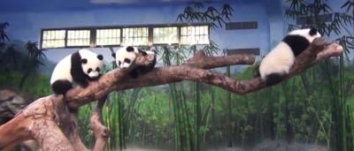 Lembra-se dos pandas trigémios? Fazem hoje um ano