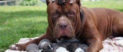 Maior pitbull do mundo foi pai de uma ninhada milionária
