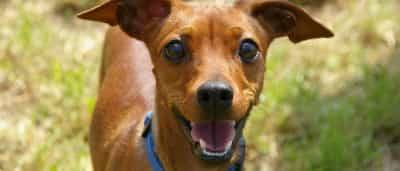 Porque é que o seu cão fica tão feliz quando chega a casa?