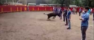 Quis provar que touros só atacam se forem atacados... e conseguiu