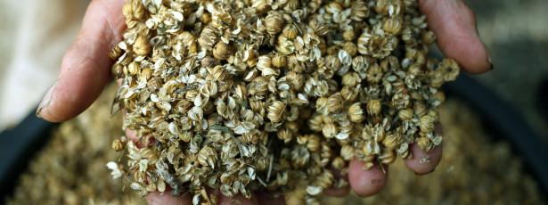 Da semente ao tear: três mulheres perpetuam o ciclo do linho