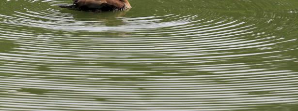 Encontrados 25 patos mortos na Figueira da Foz