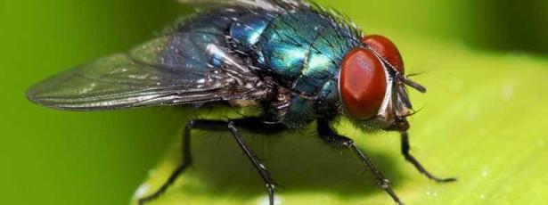 Humanos, vermes e moscas têm mecanimso moleculares comuns