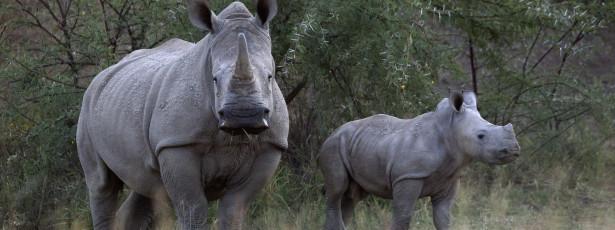 Rinoceronte à solta numa cidade faz um morto e seis feridos