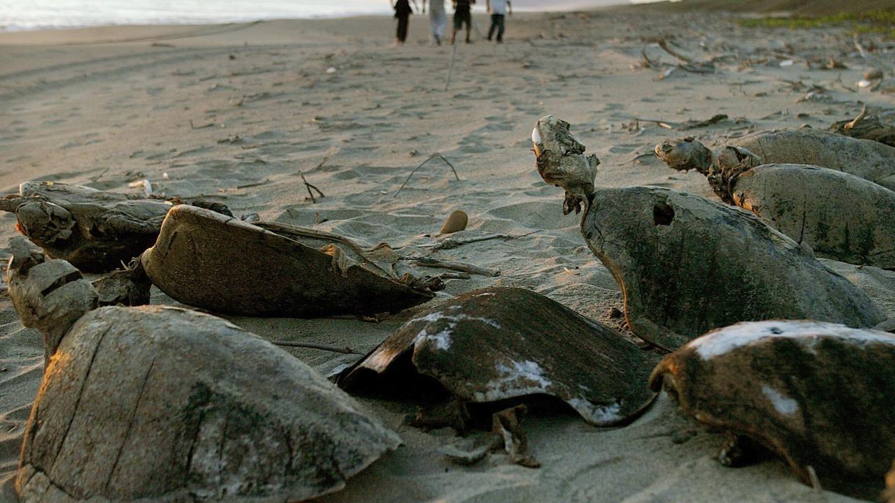 Resultado de imagem para Mais de uma centena de tartarugas mortas dão à costa no México