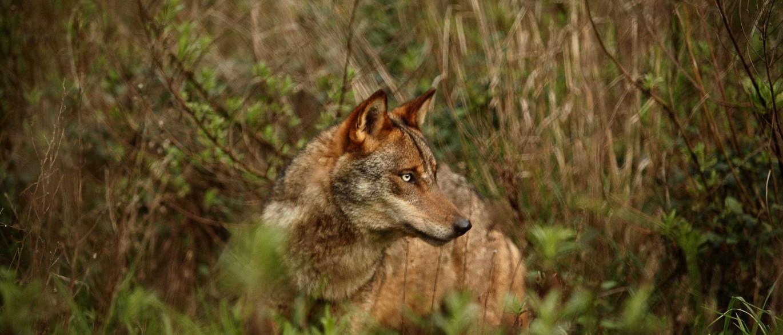 Notícias ao Minuto - Mataram lobo em Espanha e polémica já chegou cá