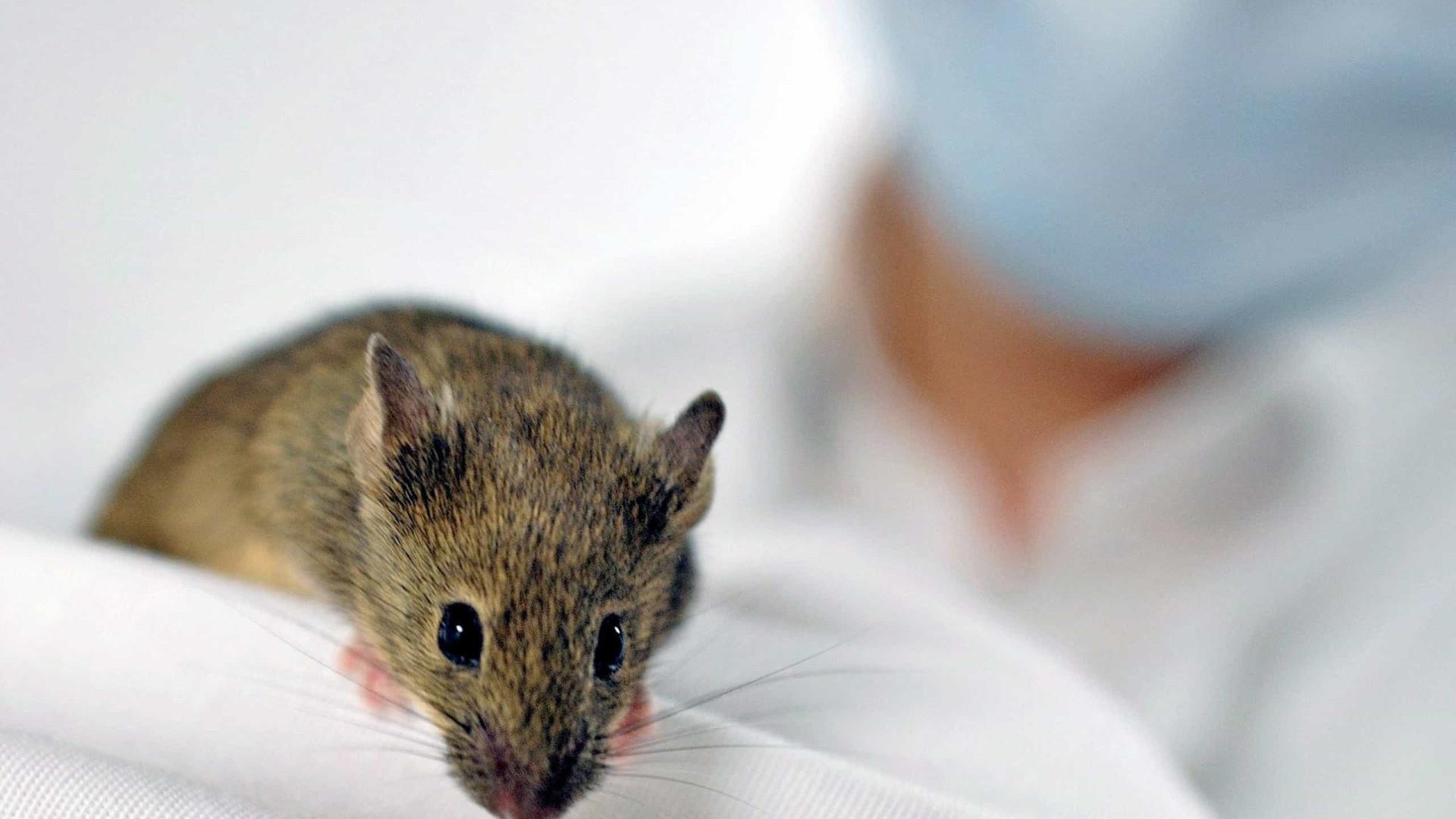 Cientistas criam rato transgénico para servir de alarme de pandemias