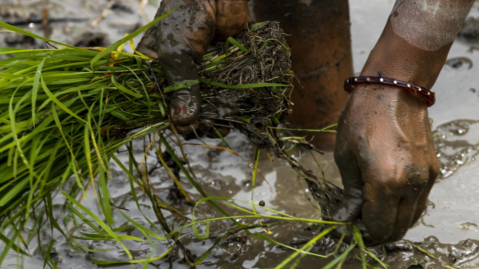 Angola só produz 6% do arroz que consome