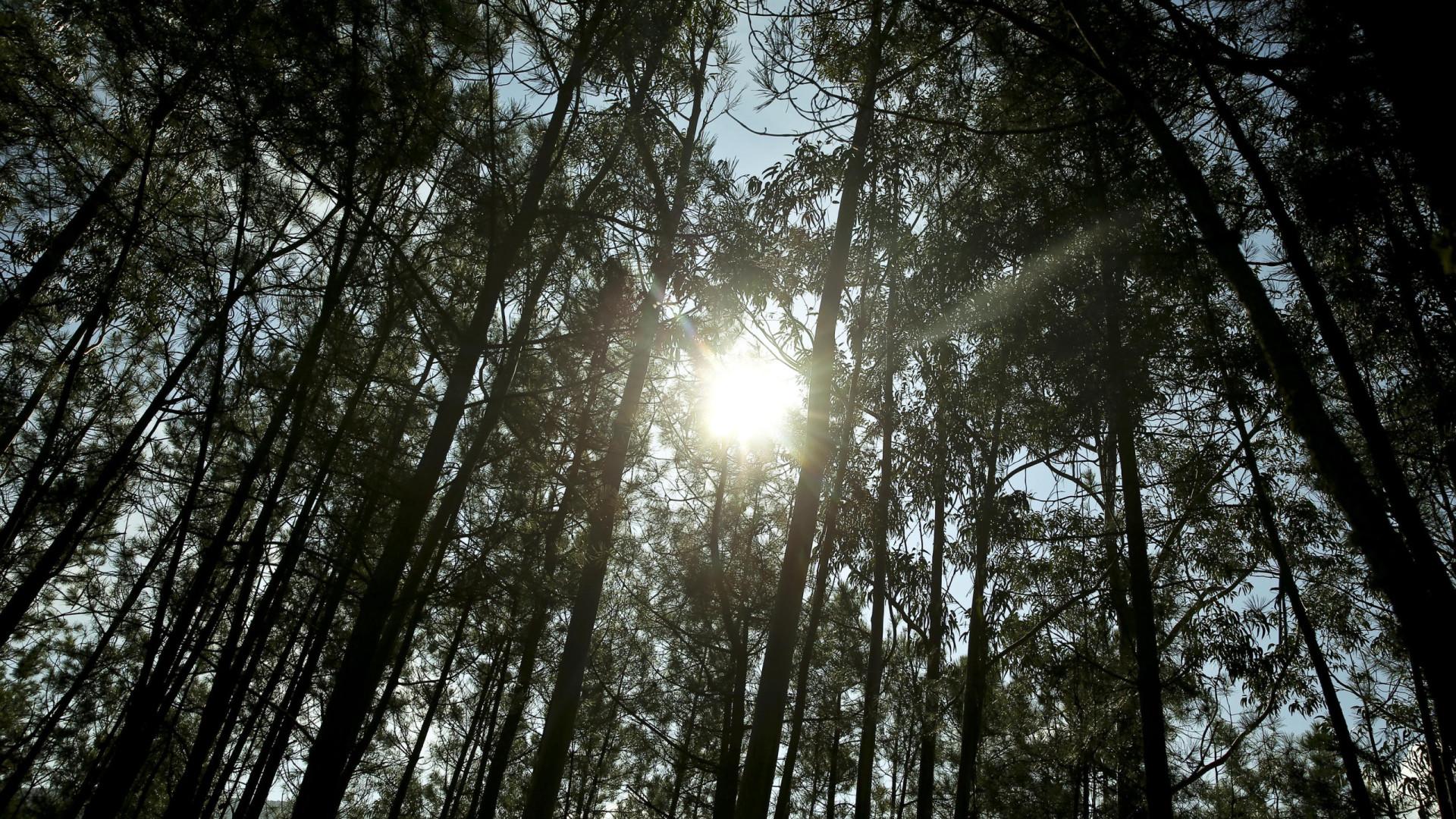 Redução da área de eucalipto na floresta portuguesa em vigor em março