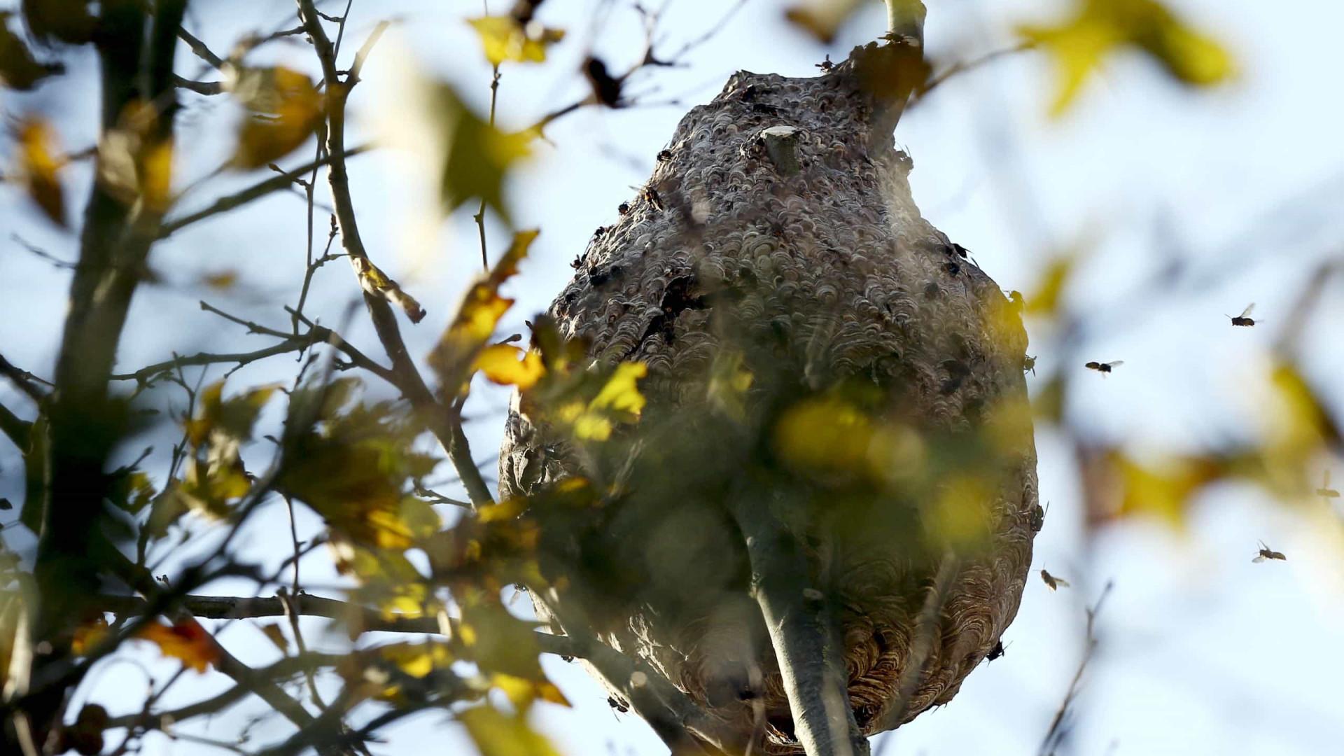 """Capacidade de reprodução da vespa asiática tem sido """"impressionante"""""""
