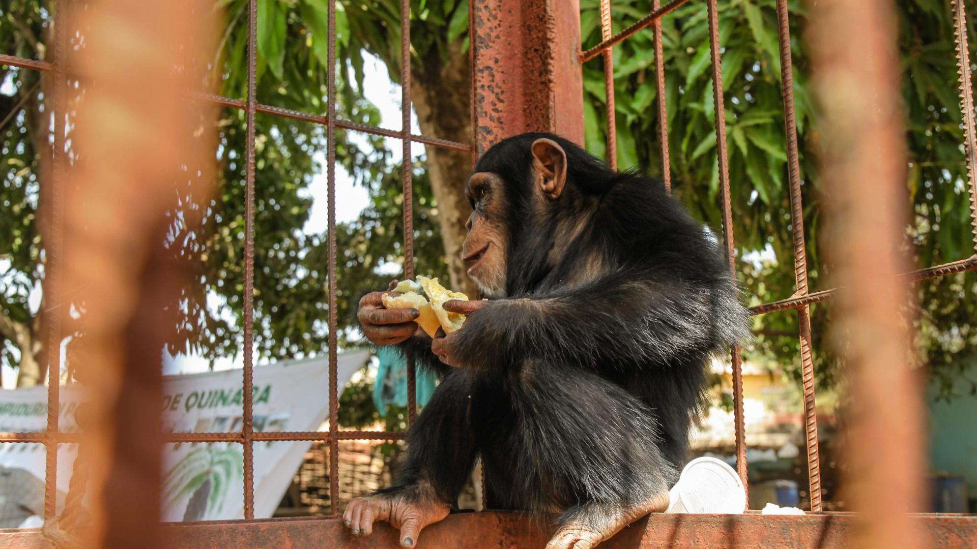 Chimpanzés salvas de traficantes vivem presas e com fome na Guiné-Bissau