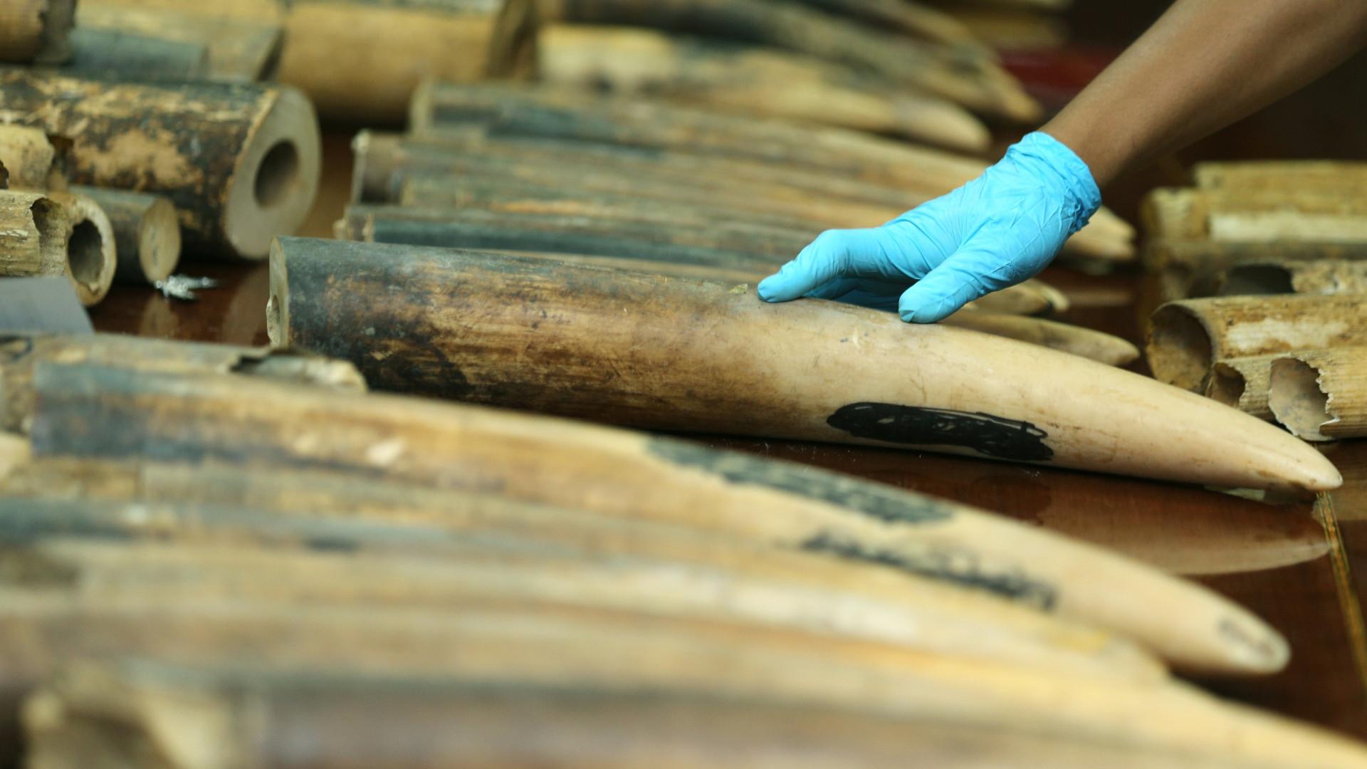 Autoridades angolanas apreenderam 21 quilos de marfim em três meses
