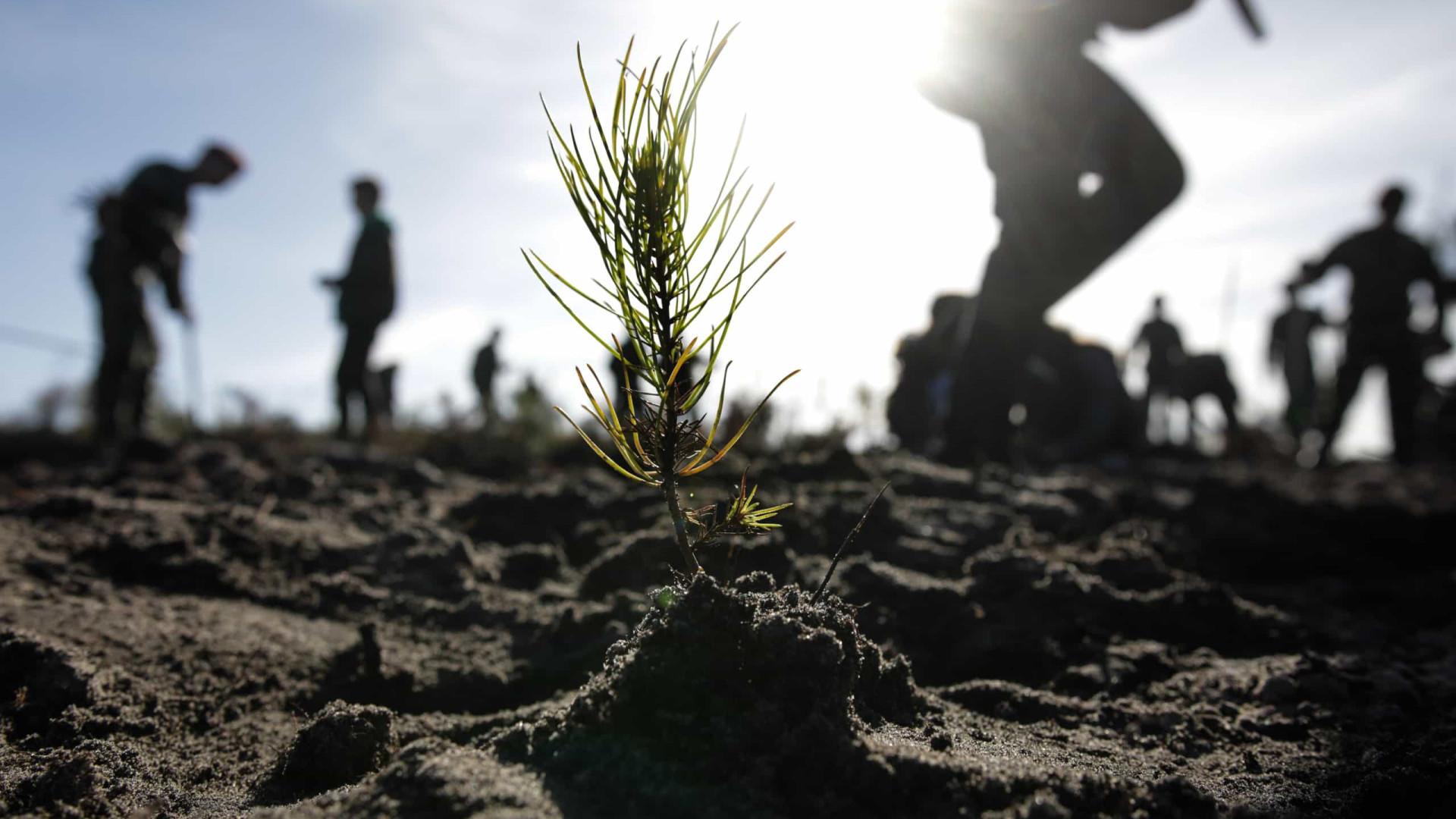 Quatro mil voluntários plantam 70 mil pinheiros no Pinhal de Leiria