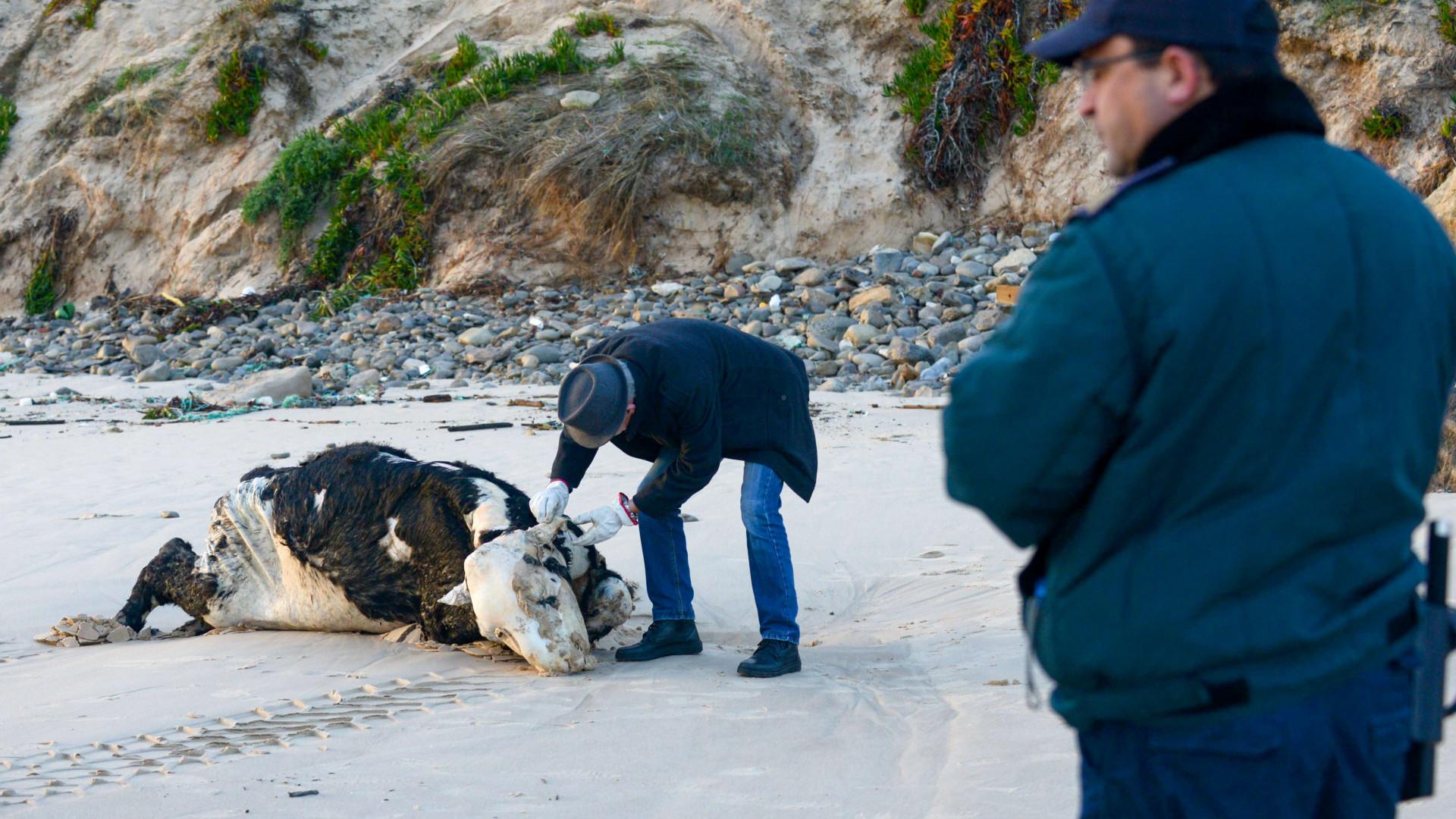 Cadáver de vaca removido de praia de Peniche quase 17 horas após o alerta