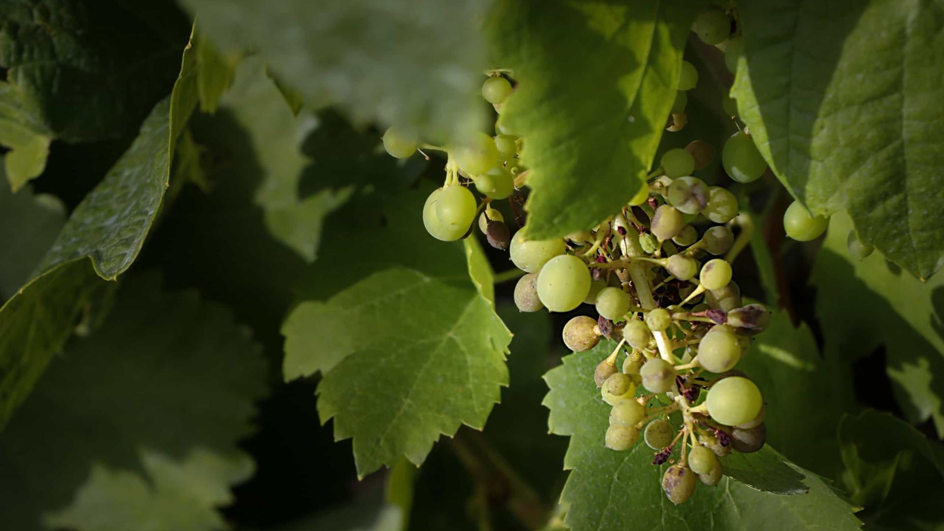 Produtores de uva vão pedir ajuda ao governo devido a quebra de produção