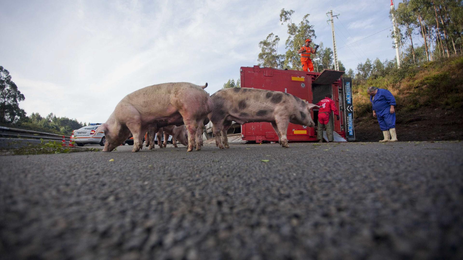 GNR 'à caça' de militar que pontapeou porco na A1