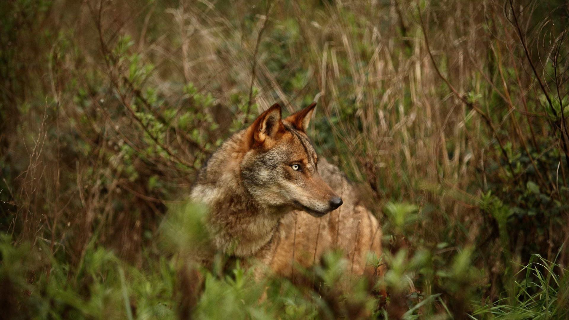 População de lobo ibérico está a aumentar em Portugal