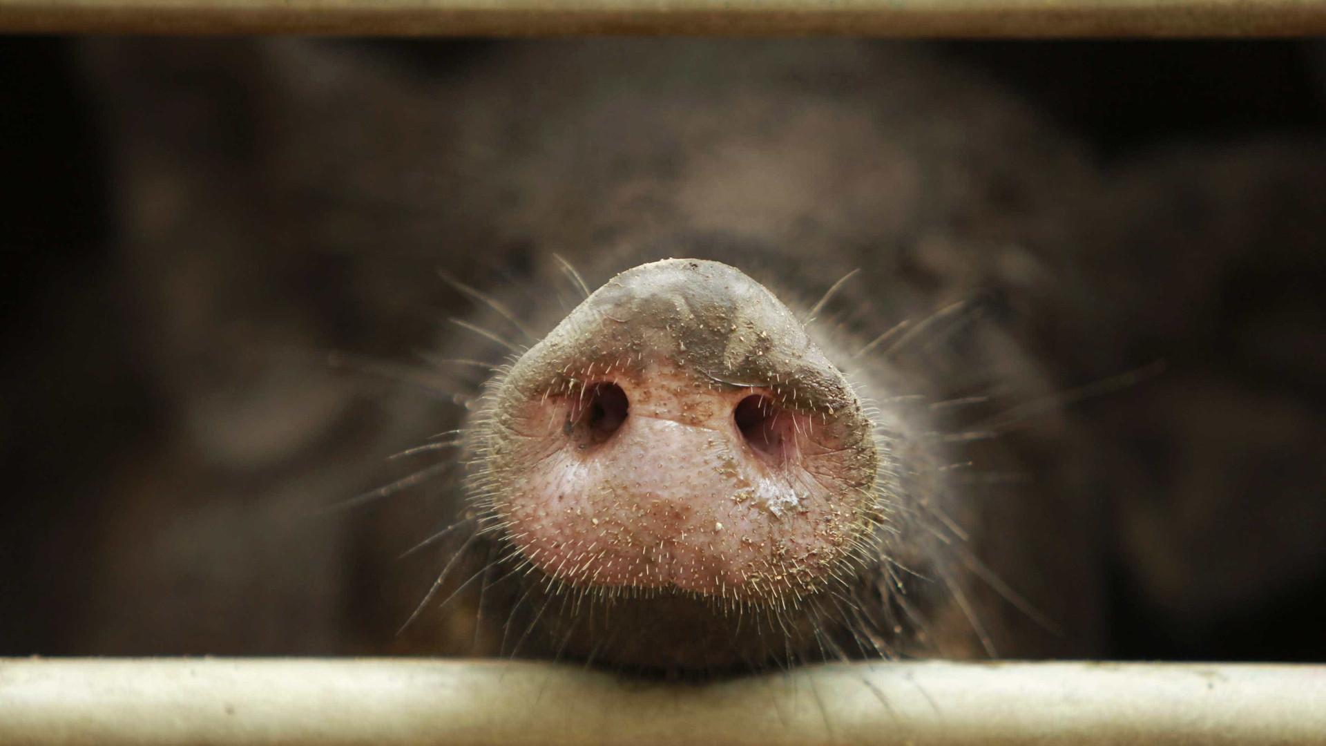 Vai comer carne de javali capturado em Trás-os-Montes? Cuidado
