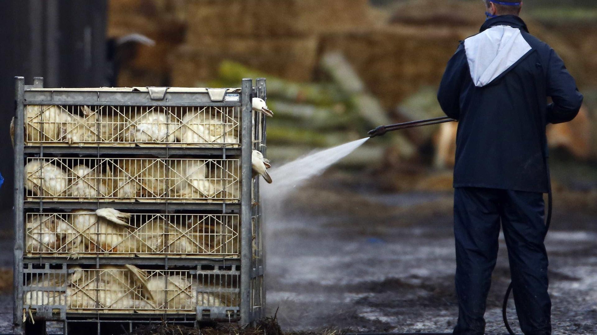 Proibida venda de perus, gansos, patos e galinhas franceses em mercados