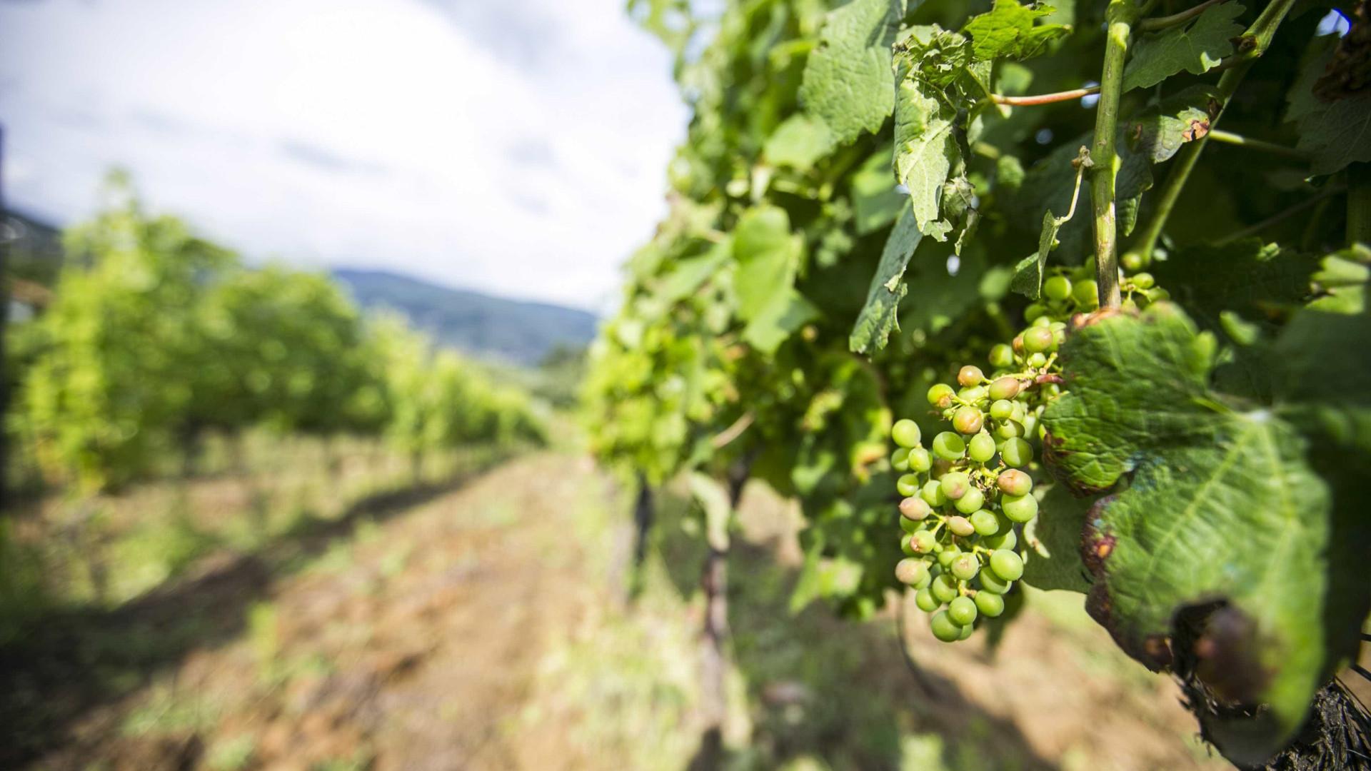"""Calor: Alguns viticultores da região de Lisboa """"com perda total"""""""