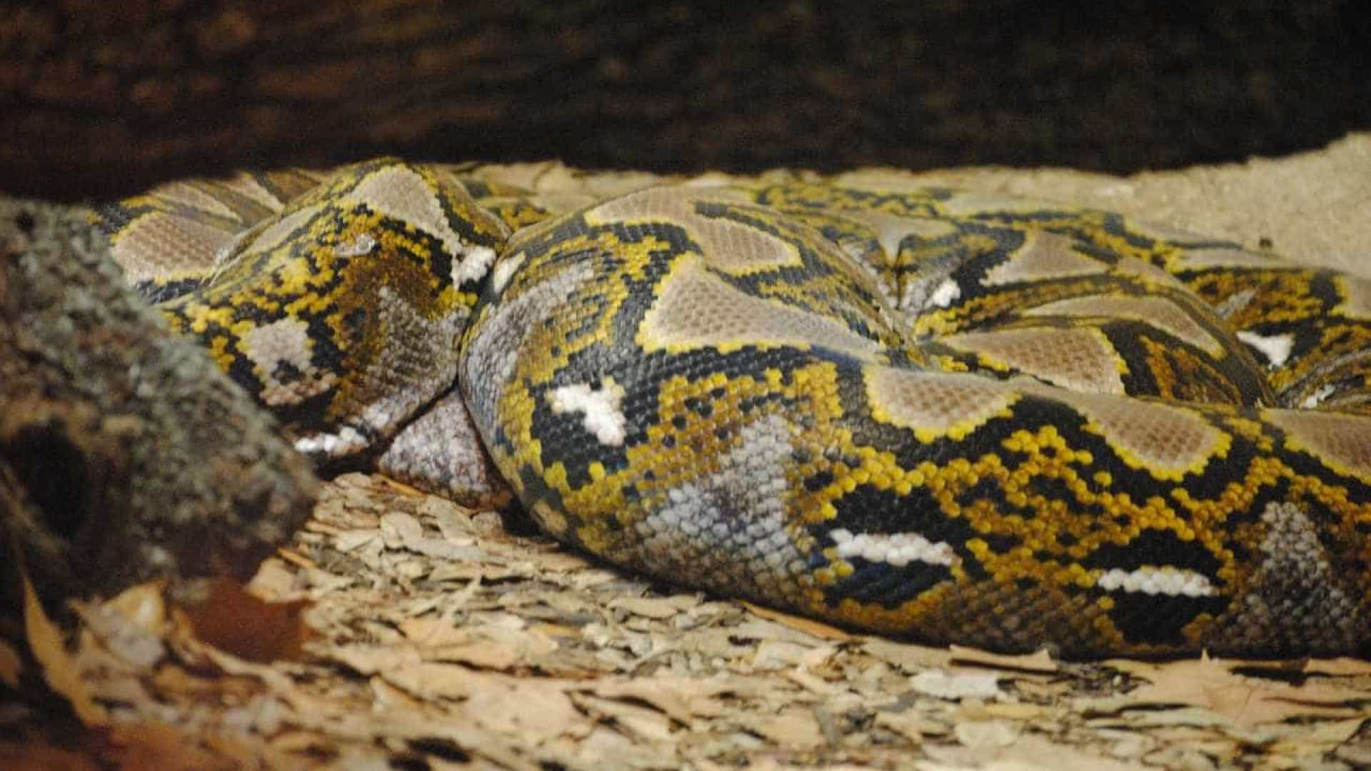 Encantador de serpentes foi mordido e morreu em seis minutos
