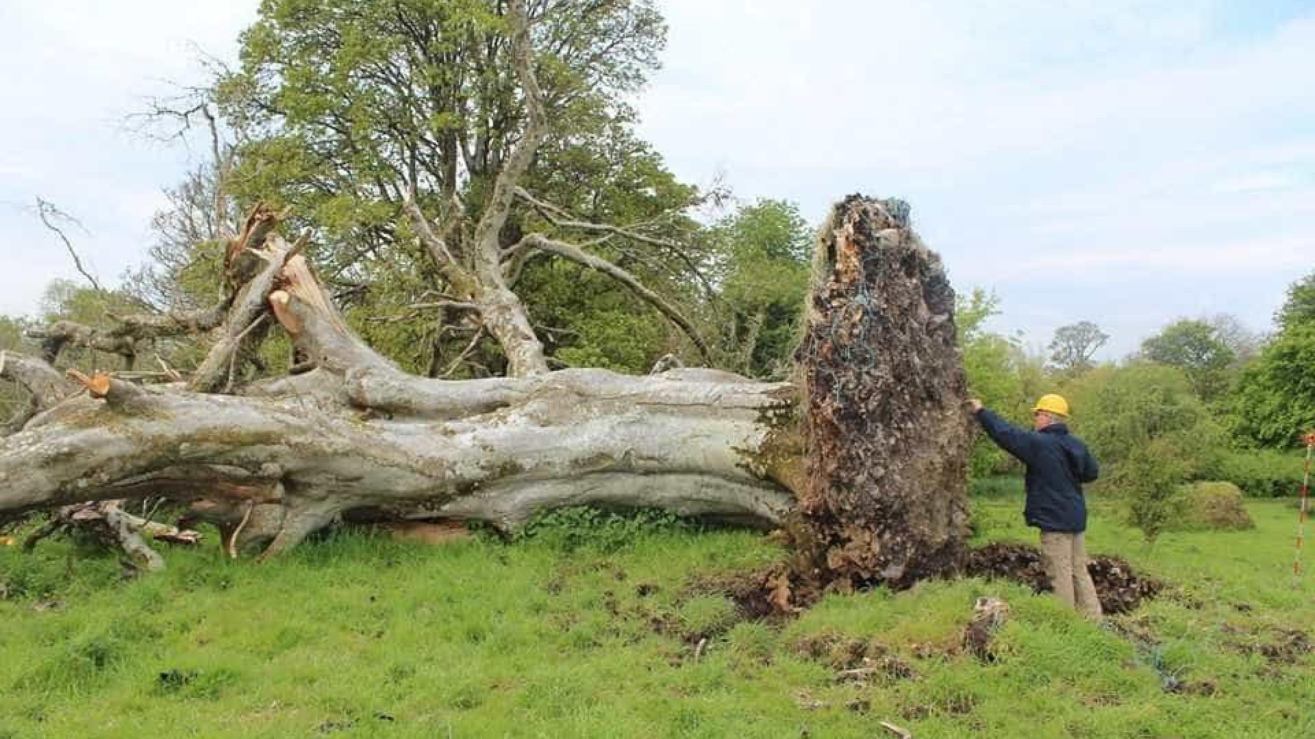 Queda de árvore revela mistério sombrio com mil anos