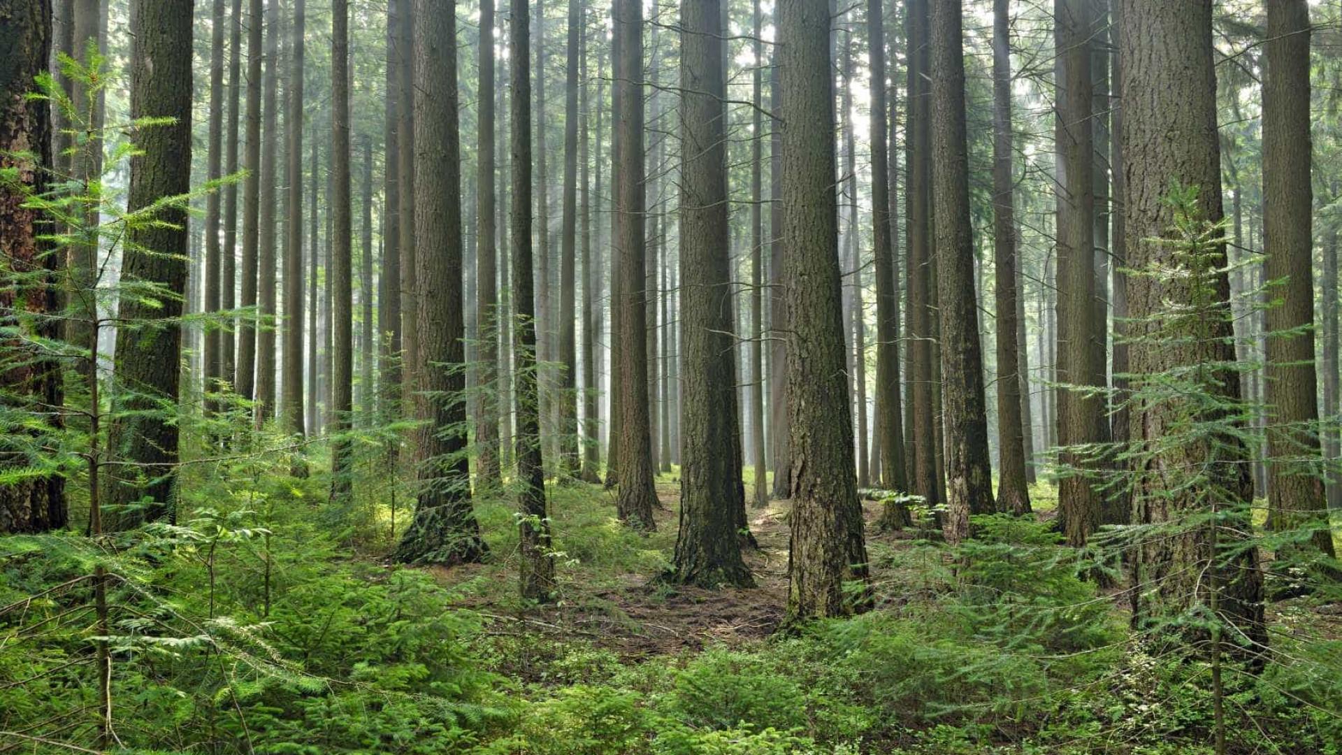 Presumível incendiário proibido por tribunal de se aproximar de floresta