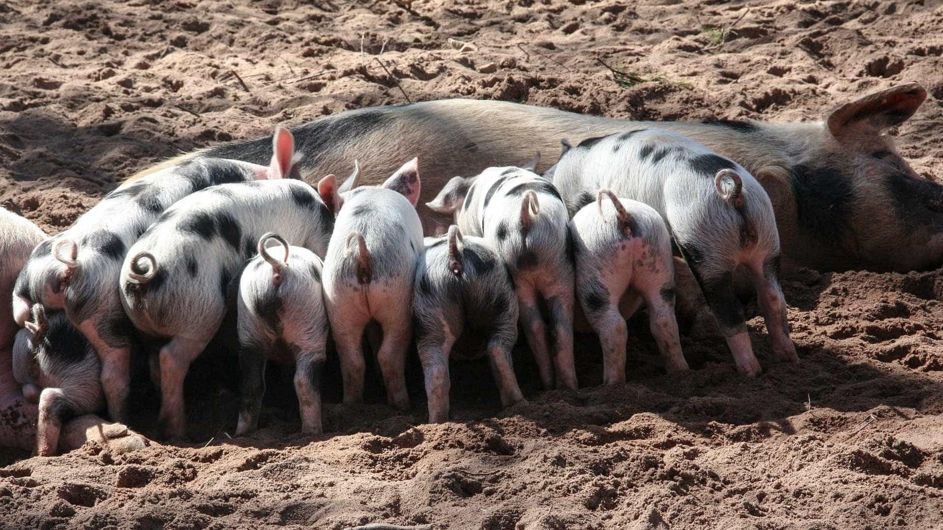 "Suinicultores alertam para ""fortes danos económicos"" devido a greve"