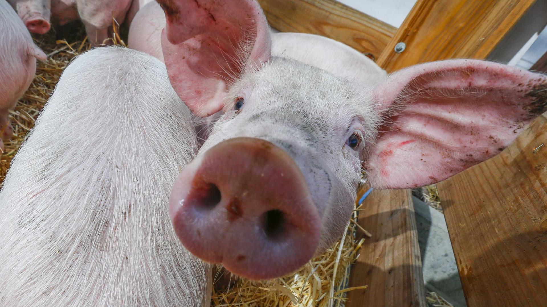 SABIA QUE os porcos são animais muito limpos?