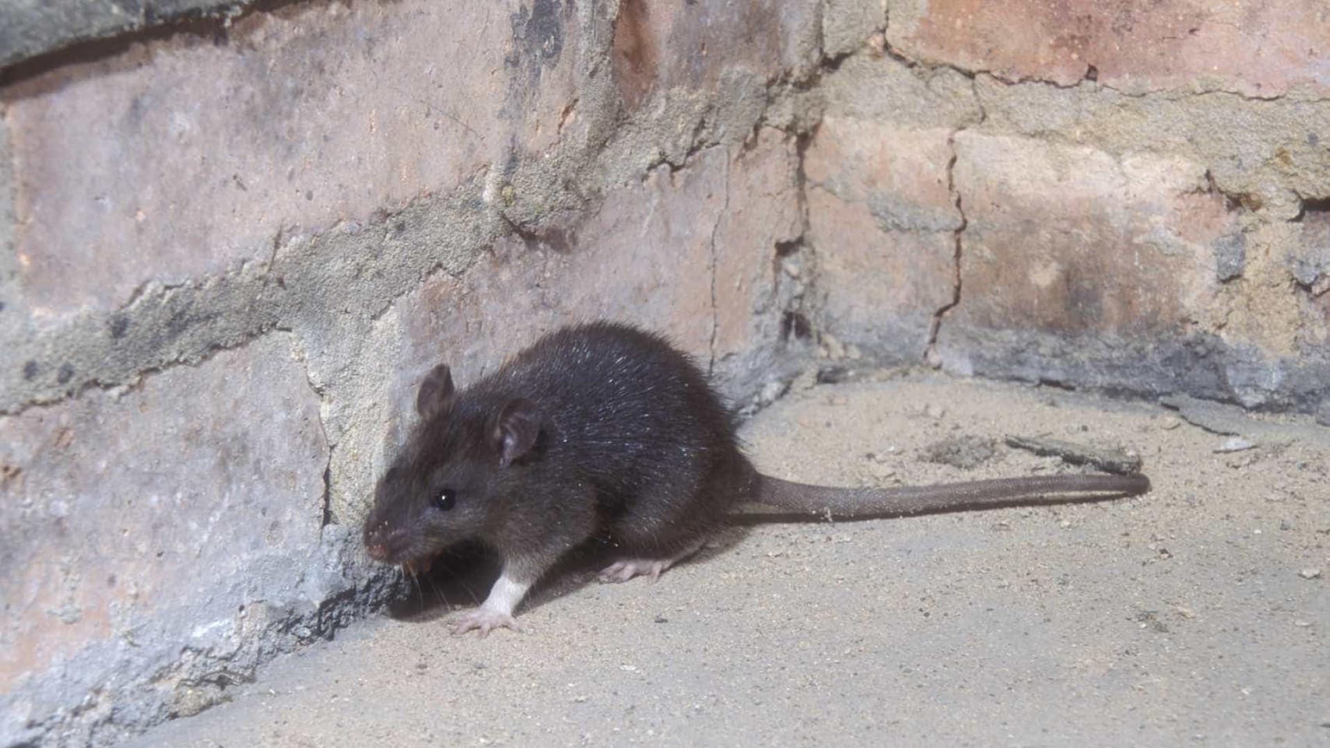 neste bairro chique de paris os ratos são tantos quanto os residentes