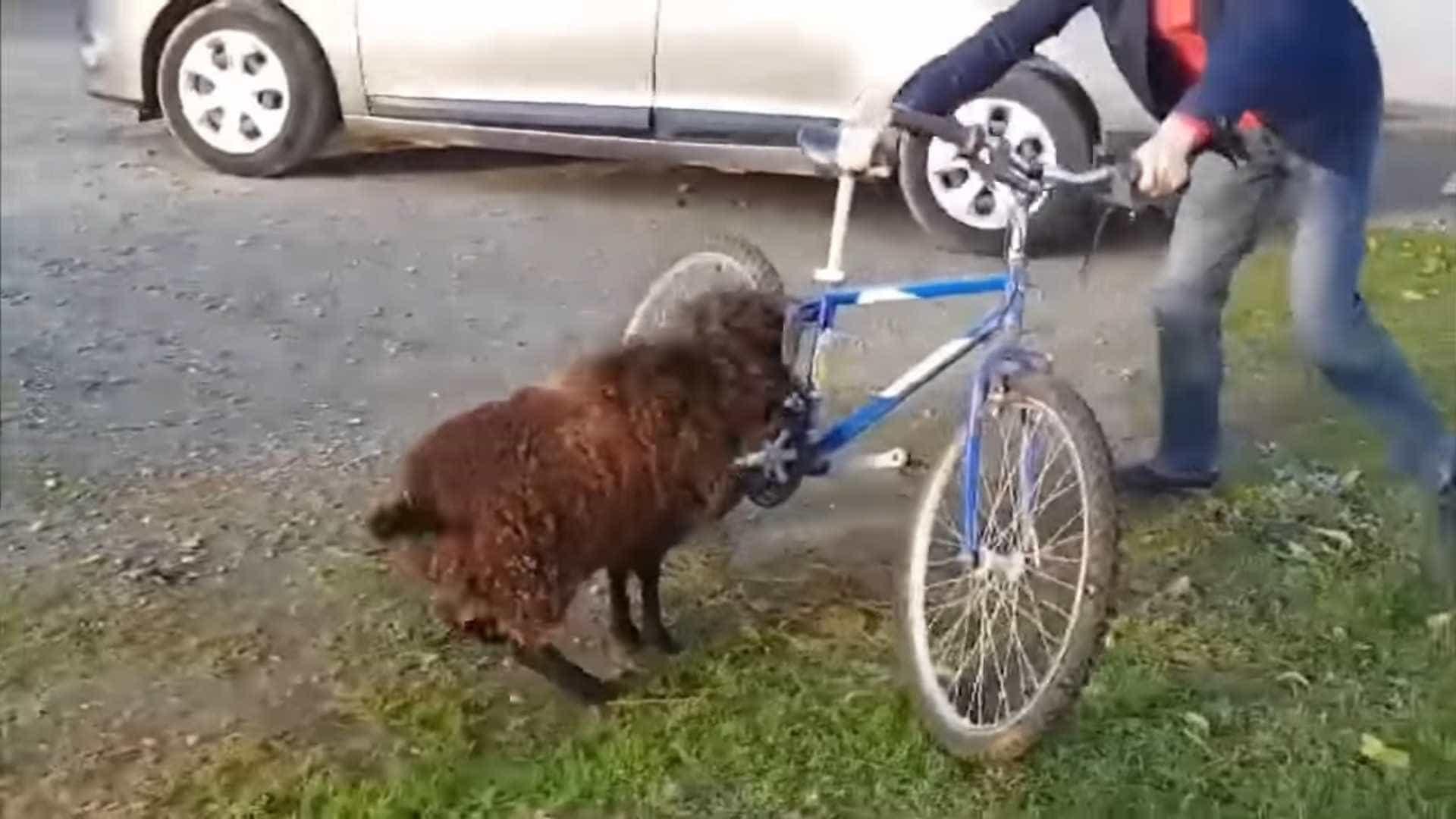 Bode tem ataque de fúria e ataca ciclista