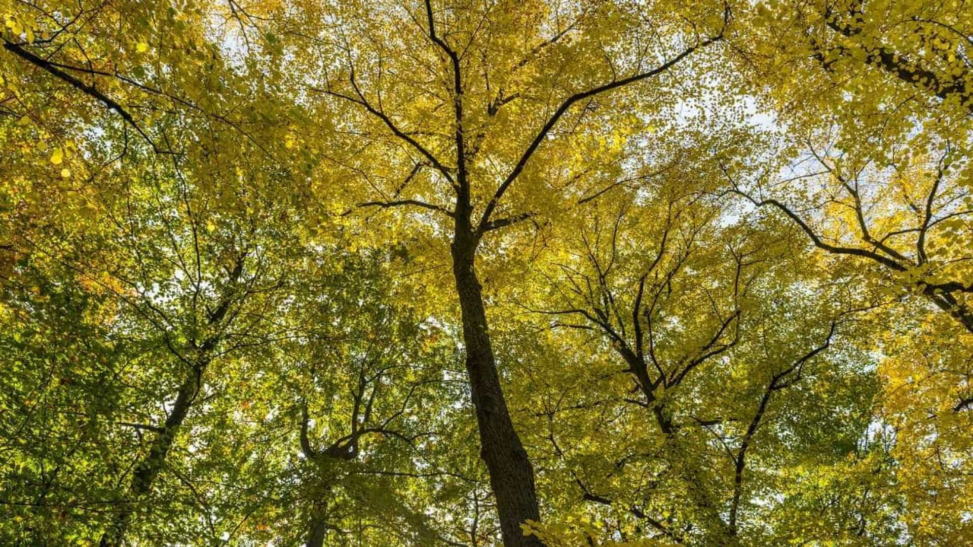 Árvores que valem mais de sete milhões? Elas existem e em Portugal
