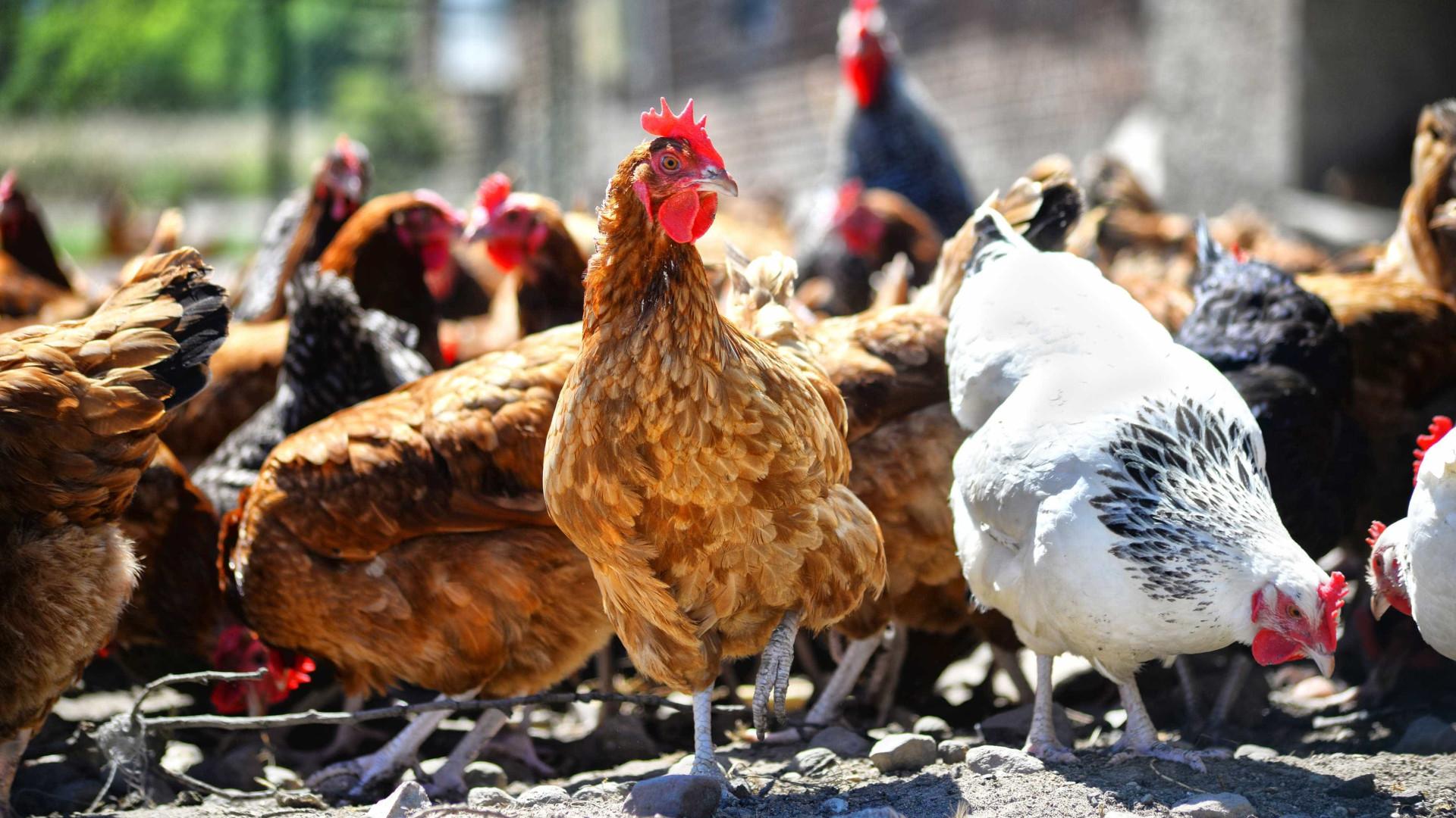 Japão abate mais 230 mil galinhas devido a gripe aviária