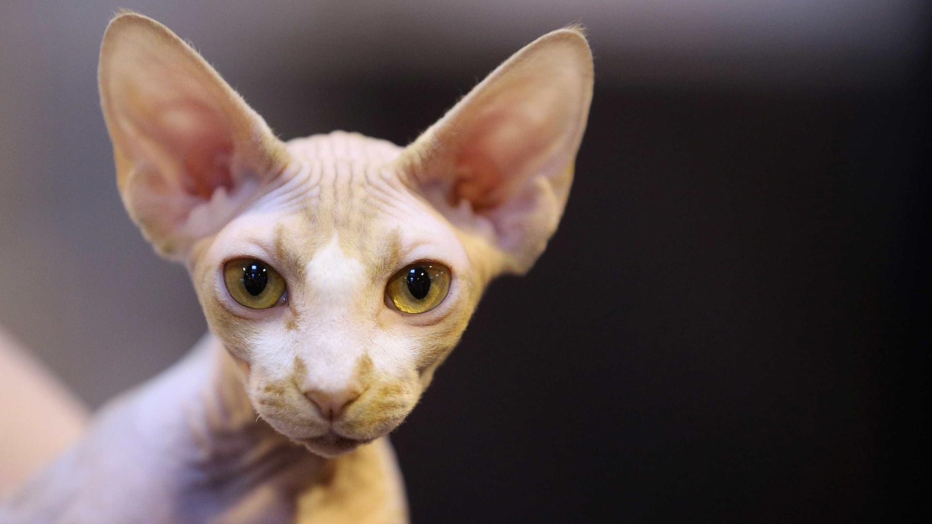 Estão a tosquiar gatos e vendê-los como se se tratasse de espécie rara